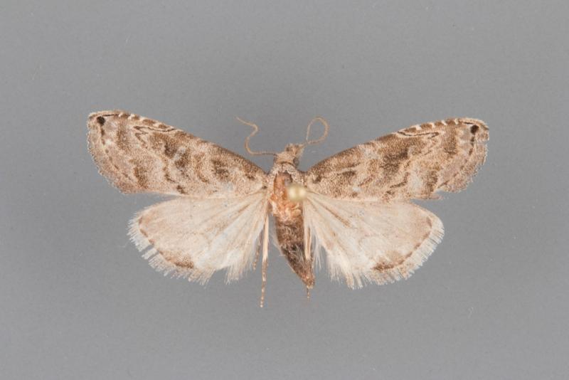 8439 Phobolosa anfracta male
