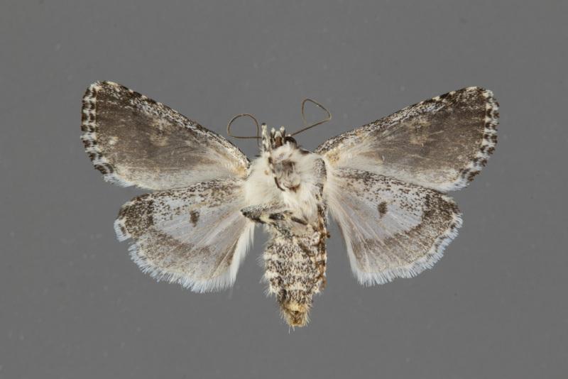 8466-Tathorhynchus-exsiccata-male-ventral
