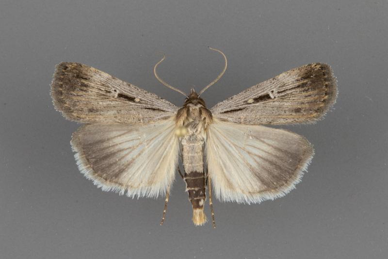 8466-Tathorhynchus-exsiccata-male