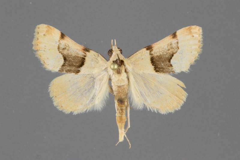 8474 Hemeroplanis incursalis male