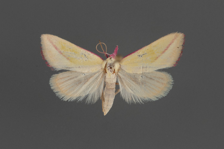 8482-Phytometra-apicata-male-brighter-exposure