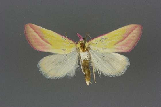 8483 Phytometra obliqualis male