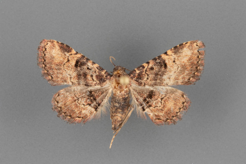 8507-Metalectra-edilis-female