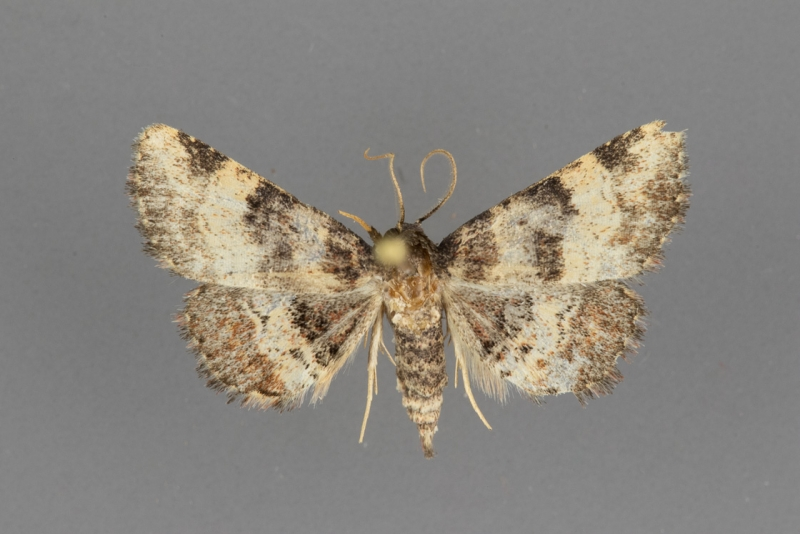 8508 Metalectra cinctus male