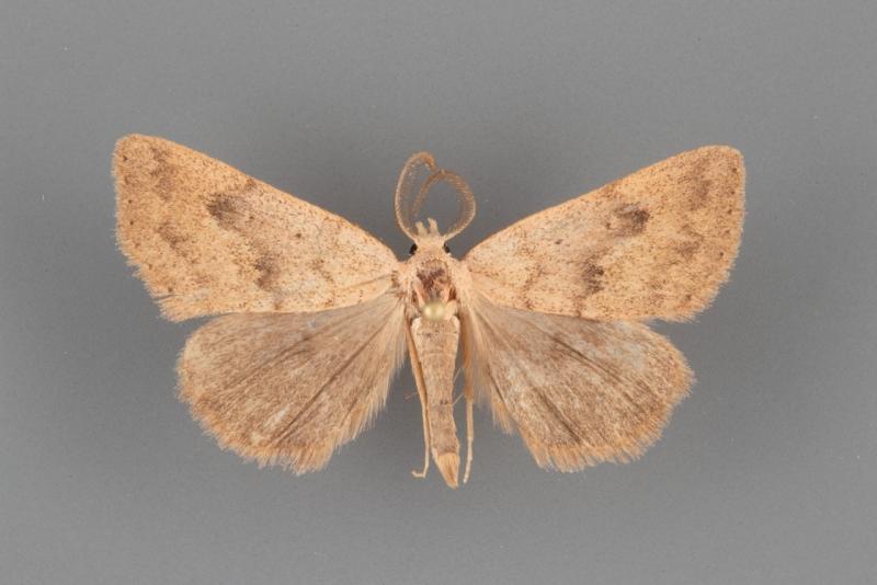 8513 Pseudorgyia russula male