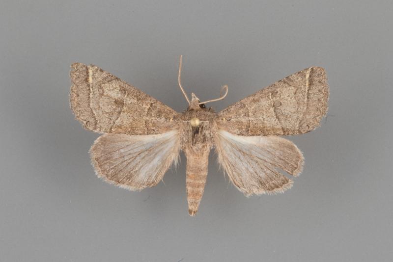 8593 Cissusa mucronata male