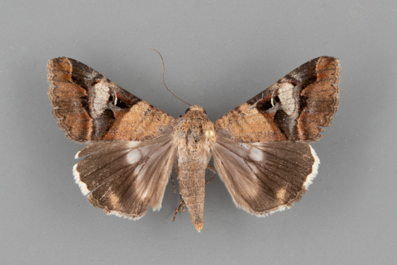 8598-Melipotis-perpendicularis-male