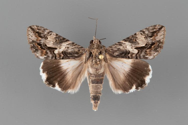 8607-Melipotis-jucunda-male-2