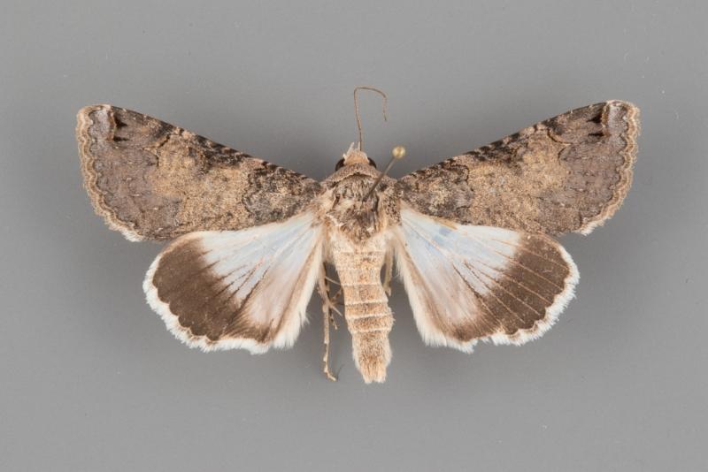 8609 Melipotis novanda female