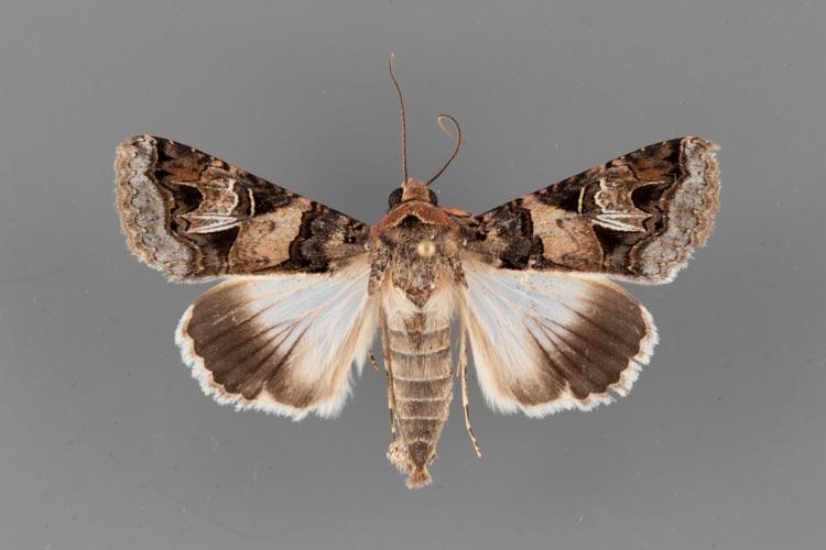 8609-Melipotis-novanda-male
