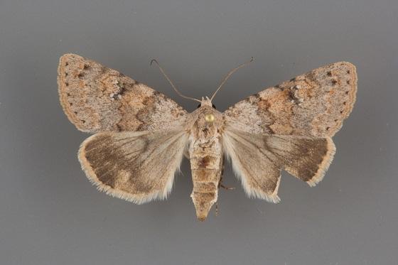 8622 Drasteria inepta female