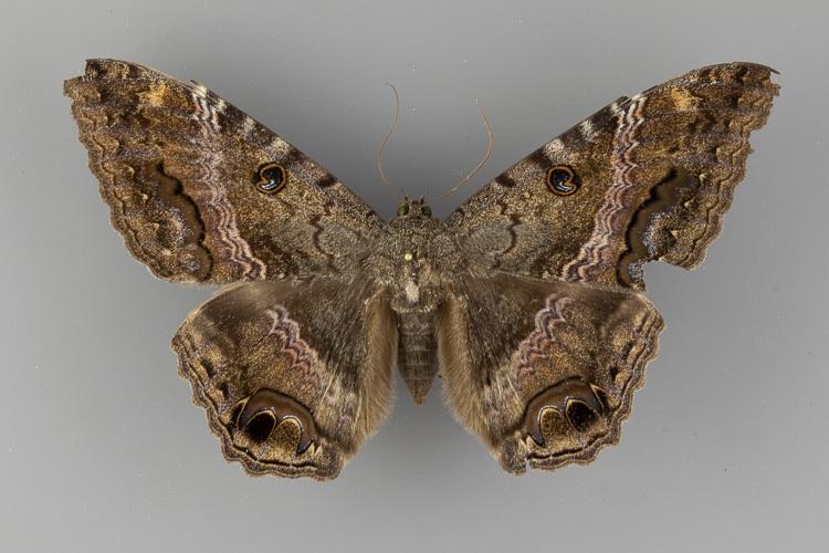 8649-Ascalapha-odorata-female