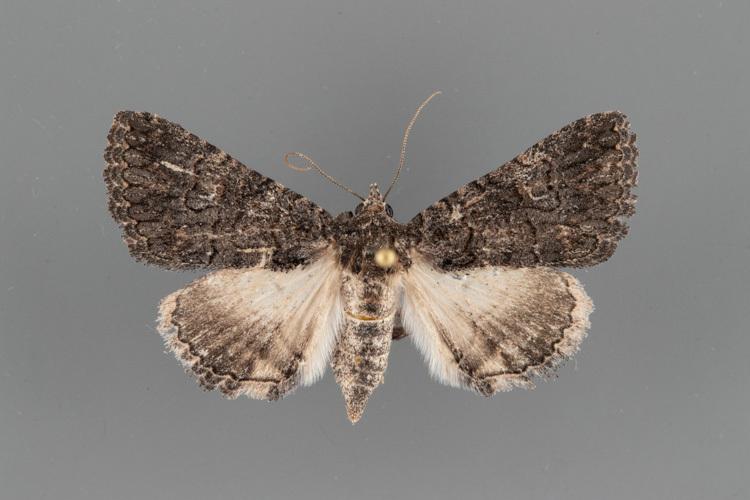8659-Heteranassa-mima-female-2