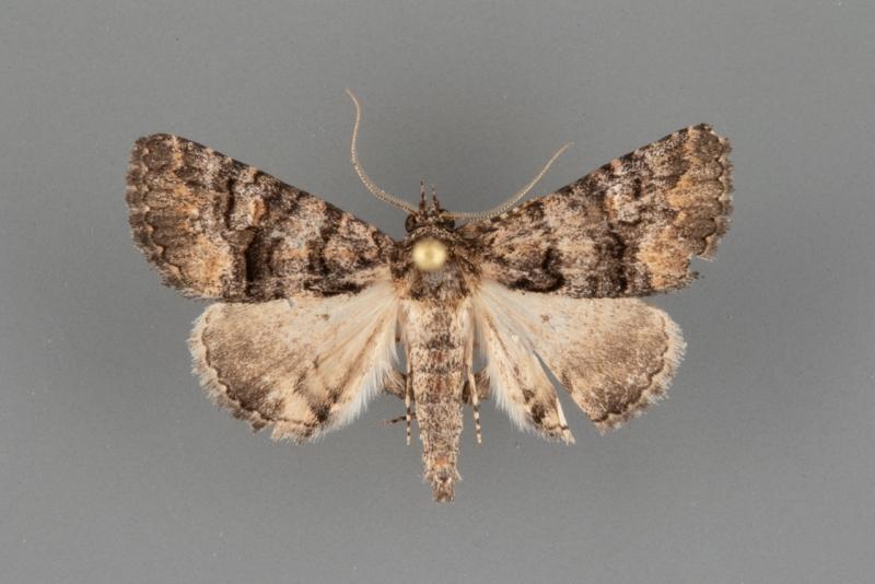 8659 Heteranassa mima male