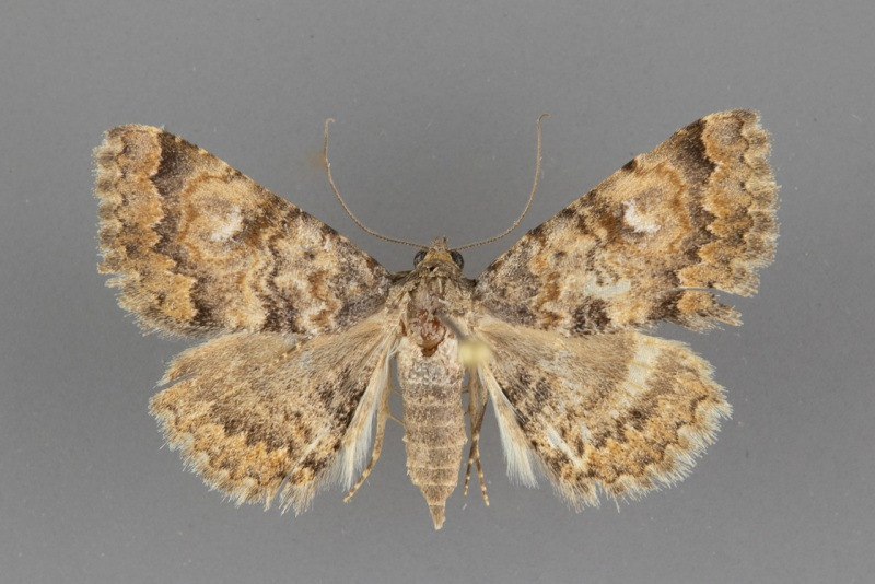 8672-Toxonprucha volucris male ii-95