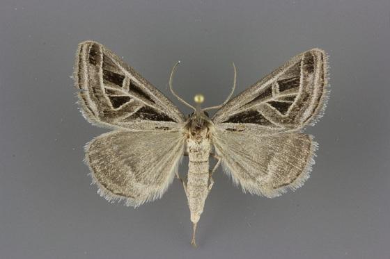 8741 Callistege diagonalis male