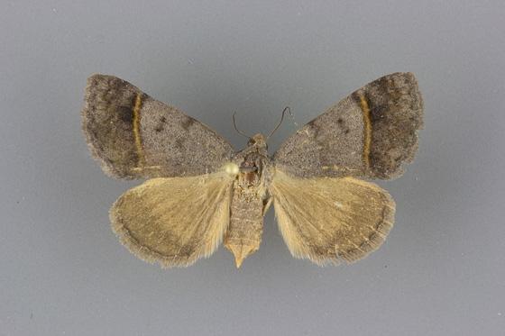 8754 Ptichodis bucetum female