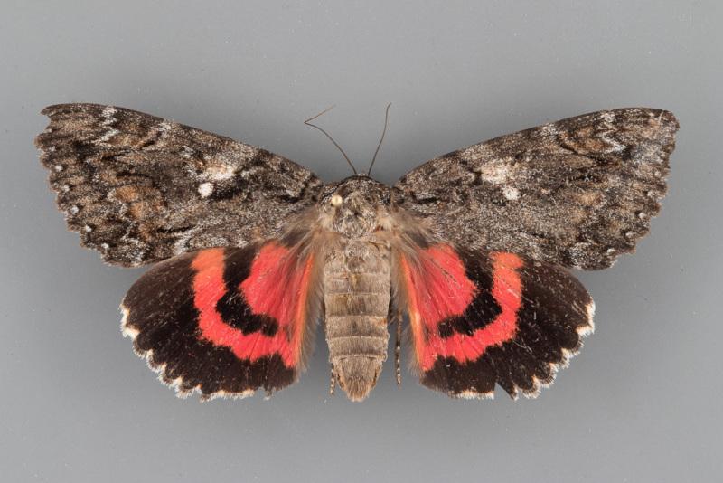 8800-Catocala-aholibah-female