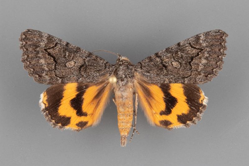 8838-Catocala-chelidonia-male