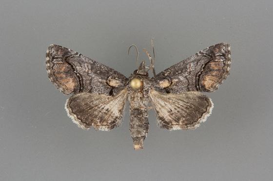 8959.1 Paectes abrostollela female