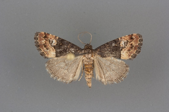 9031 Ozarba propera female