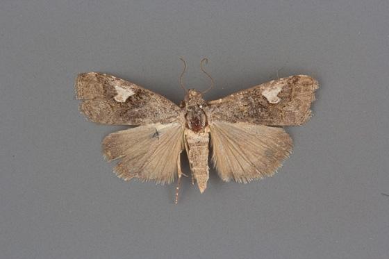9074 Metaponpneumata rogenhoferi female