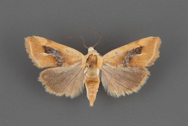 9087-Ponometia-venustula-female