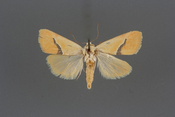 9087 Ponometia venustula male