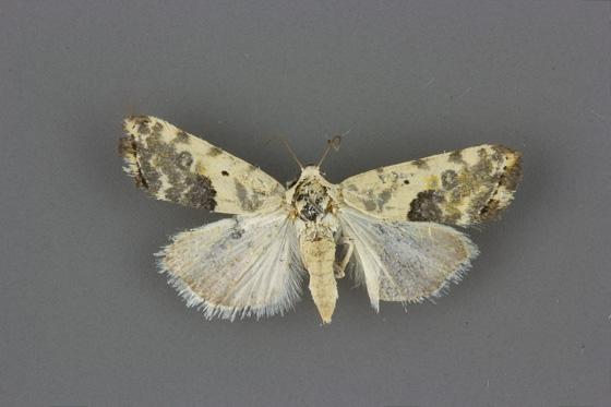 9090 Ponometia candefacta female