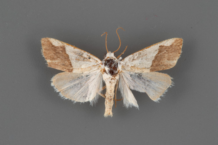 9093-Ponometia-heonyx-male