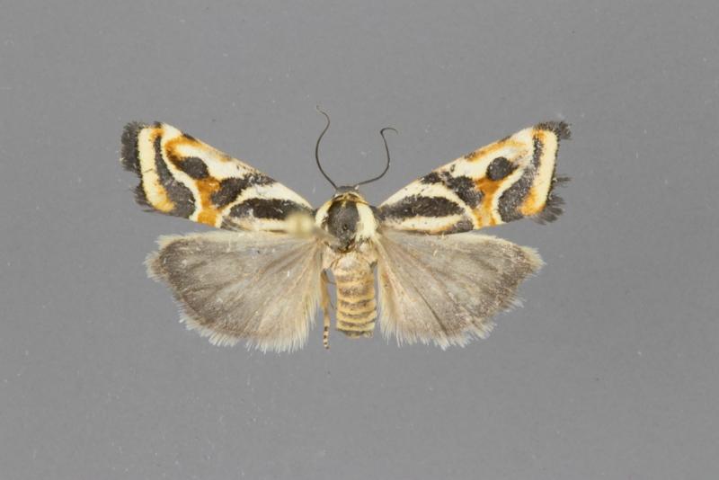 9121 Spragueia magnifica female