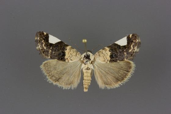9158 Tarache areloides female