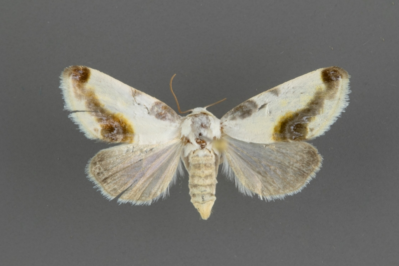 9160 Acontia chea female