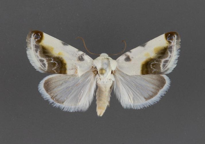 9161-Acontia-cretata-male