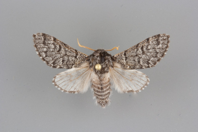 9183.1 Panthea apanthea male
