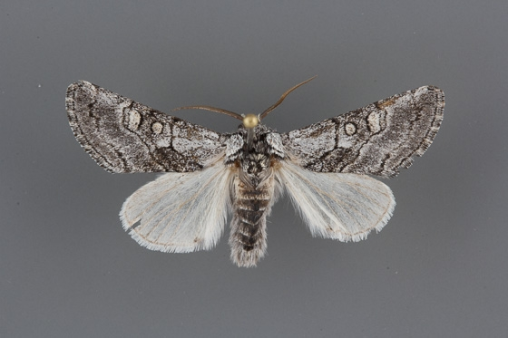 9186 Pseudopanthea palata male