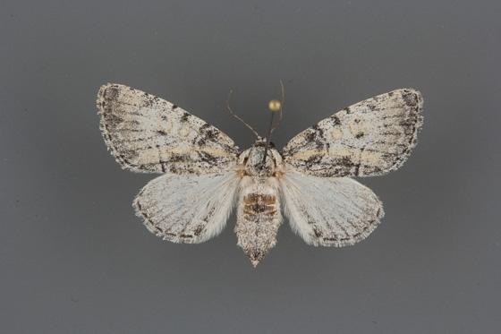 9193 Raphia frater elbea female