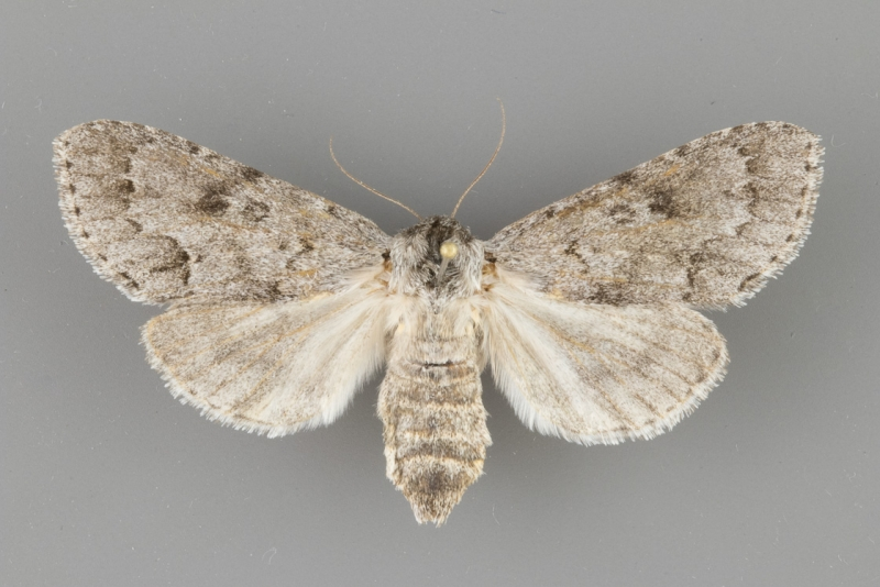 9203 Acronicta dactylina female