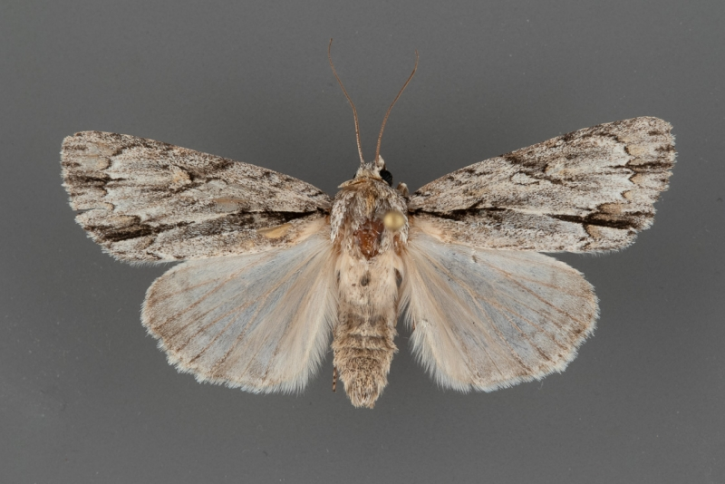 9230 Acronicta thoracica male