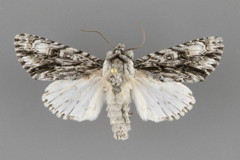9232 Acronicta atristrigatus male