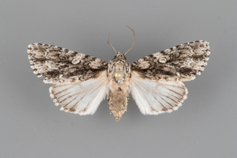 9255 Acronicta brumosa female