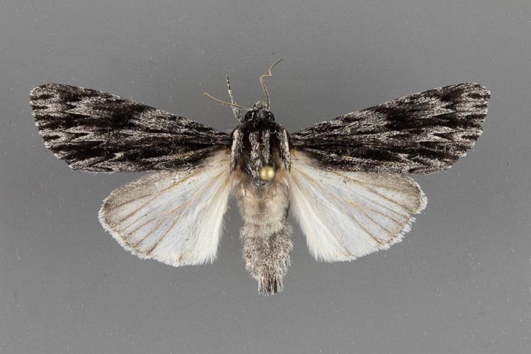 9269-Acronicta-edolata-male