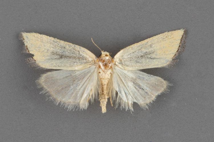 9297.5 Pseudomarimatha flava female
