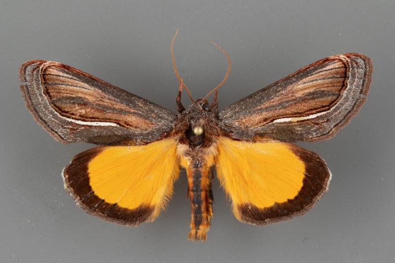9304 Gerrodes minatea male dorsal