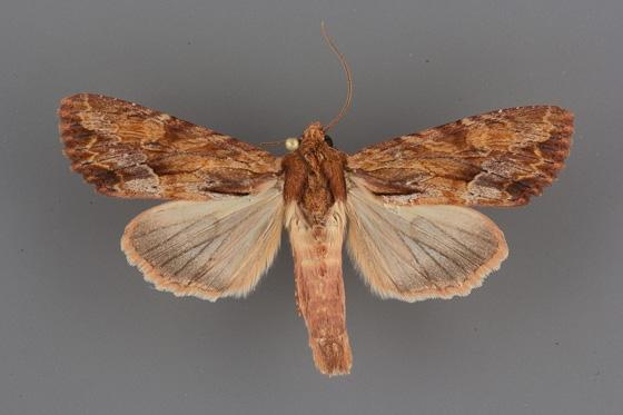9336 Apamea atrosuffusa male