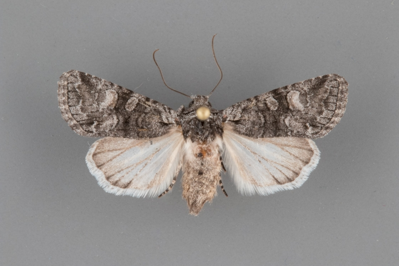 9346 Apamea occidens female