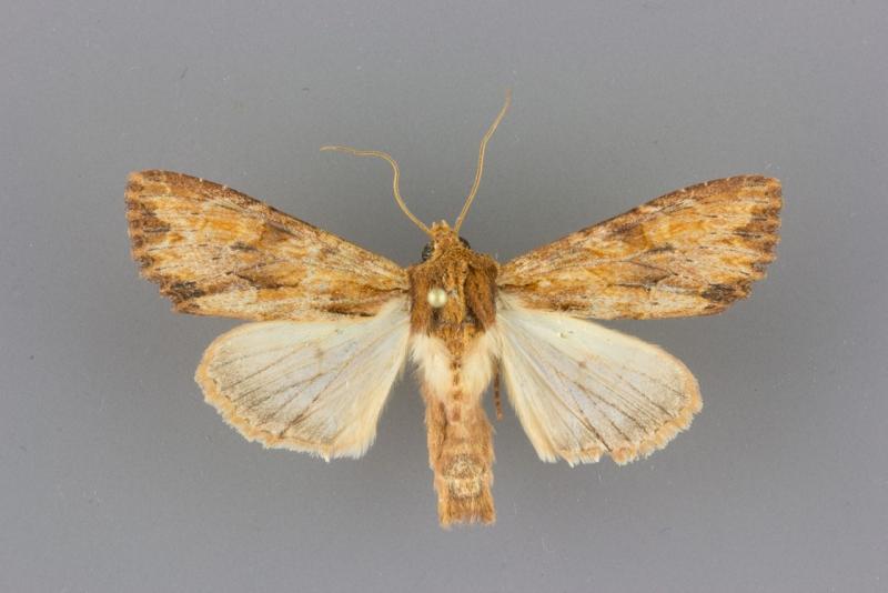 9351.1 Apamea xylodes male