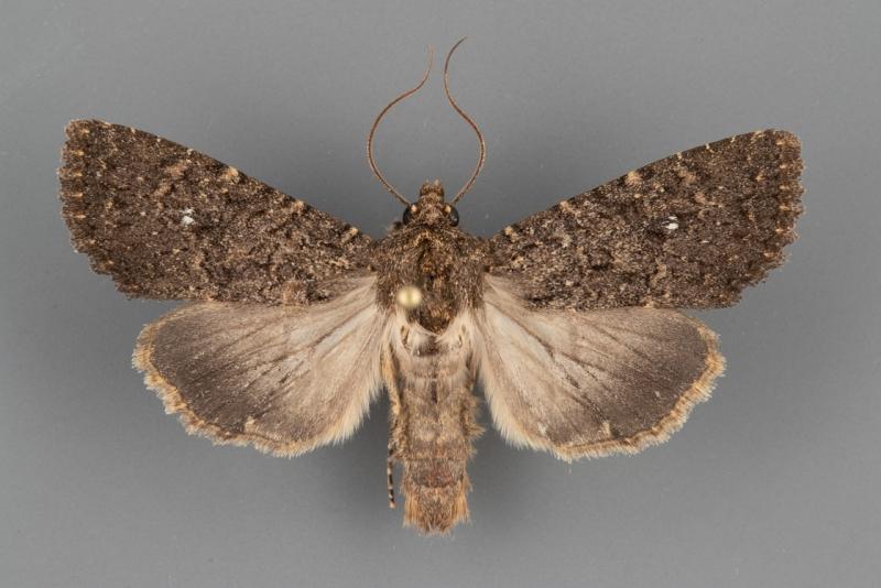 9368-Apamea-geminimacula-male