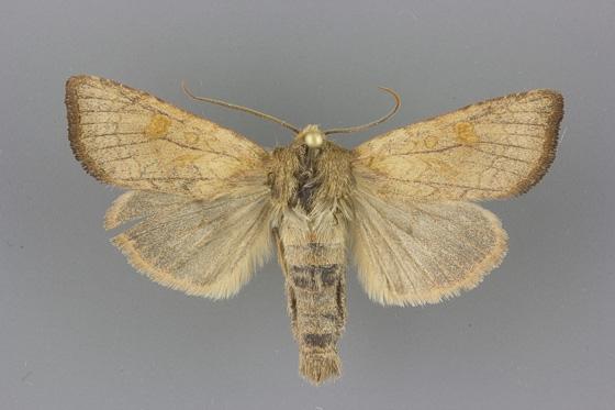 9459 Amphipoea senilis male