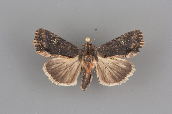 9561 Dypterygia patina female